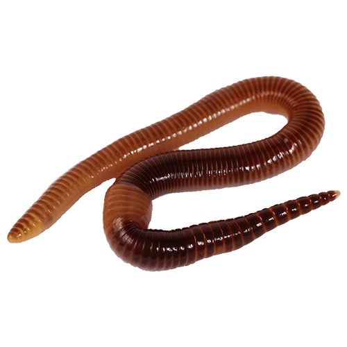 composting-worms
